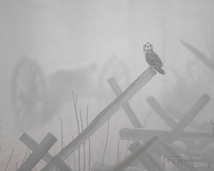 Battlefield Short-eared Owl (T L Sepkovic) Tags: owl fog shortearedowl shorty birdsofprey raptor history historicplaces battlefield gettysburg raptorsandlandscapes canon 5dmkiv foggy moody dark