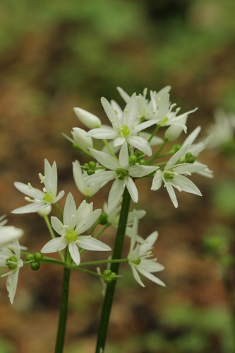 Bear's Garlic - Allium ursinum