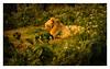 The King (Shojib77) Tags: the lion jungle king bangabandhu safari park gazipur bangladesh beautifulnature traveling vacation nikond5300 nikon1855mm wildlife photography safaripark