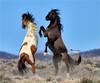 DEFENDING THE BAND ... (Aspenbreeze) Tags: wildhorse stallion wildstallion stallions horses wildanimal equine fightingstallions stallionsfighting nature ruralcoloradowildlife wildlife wildanimals pinto black bevzuerlein aspenbreeze moonandbackphotography