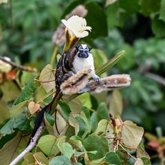 Geoffroy's tamarin, Panama rainforest (powerfocusfotografie) Tags: geoffroystamarin saguinusgeoffroyi monkey panama nature wildlife animalsinthewild roodnektamarin forest rainforest henk nikond7200 powerfocusfotografie