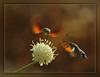 Macroglossum stellatarum (Kike K.) Tags: summer animal insect bug butterfly moth hummingbird nature flower light sun color fauna flora wings fly flight rijeka canon70200f4l outdoor 600d canon gimp sunlight orange august 2015 natural europe adriatic meadow bush plant climate warm garden tentacle juice feed
