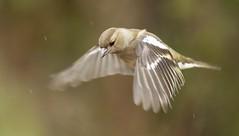 Rain bird {explored} (Cosper Wosper) Tags: chaffinch explore explored rain greylake somerset