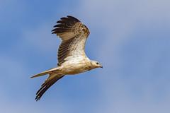 Whistling Kite 2018-03-30 (7D_182A3557) (ajhaysom) Tags: whistlingkite haliastursphenurus beachroad pointwilson canoneos7dmkii tamron150600mmf563divcusdg2 melbourne australia australianbirds