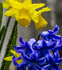 18-04-01 hya narz blü blau gelb nah dsc0932-1 (u ki11 ulrich kracke) Tags: blüteblau blütegelb hyazinthe nah terrasse tröp stillleben kontrast smileonsaturday springflower20172018