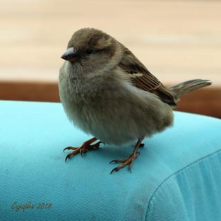 Musje - sparrow