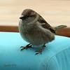 Musje - sparrow (Cajaflez) Tags: vogel fogel oiseau mus sparrowspatz moineau coth5 ec