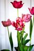 Spring Tease (Portraying Life, LLC) Tags: dbg6 k1 michigan pentax ricoh unitedstates closecrop handheld nativelighting tulip