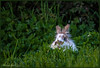 5 aprile 2018 (adrianaaprati) Tags: rabbit bunny meadow grass park april green animal spring
