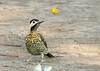 Green-barred Woodpecker (Colaptes melanochloros) (Chrysoptilus melanochloros) (Francisco Piedrahita) Tags: aves birds argentina greenbarredwoodpecker colaptesmelanochloros chrysoptilusmelanochloros