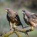 Swainson's Hawks (Dark Morph)