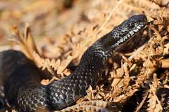 Vipera berus (D. Kane) Tags: vipera berus adder male snake viper canon6d canon100mm l 28 macro danielkane england reptile black melanistic