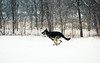 On The Run (Katherine Ridgley) Tags: toronto winter snow weather cold dog dogpark workingdog torontodog domesticdog purebred purebreed purebreddog canislupusfamiliaris canislupus canis canidae carnivore carnivora mammal mammalia animalia animal pet run running germanshepherddog germanshepherd gsd deutscherschaferhund deutscherschäferhund schäferhund schaferhund alsatian alsatianwolfdog dsh action