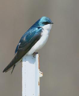 tree-swallow-24w