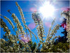 almost summer ! (kurtwolf303) Tags: natur nature sun sonne spierstrauch spirea nikon nikoncoolpixs9900 gegenlicht sunrays sonnenstrahlen kurtwolf303 compactcamera backlight unlimitedphotos blüten blossoms sky himmel