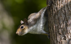 Eastern Grey Squirrel (Randy E. Crisp) Tags: randyecrisp randycrisp crisp canon sky woods grass field wildlife branches leaves zoom prime 7dmkii 7dmark2 7dmk2 outdoor outdoors redriver lamarcounty nwr fisheater tx texas water 2018 2017 2016 2015 2014 2013 nature limb perched trunk vegetation handheld cropcamera canon400mmlvii squirrel easterngreysquirrel backyard rodent treerat thief