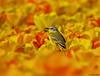 Yellow Wagtail in a tulip field (Corine Bliek) Tags: vogel vogels bird birds wildlife nature natuur tulpen tulips spring voorjaar flowering colourfull bloemen bloei kleurrijk bulb fields bollenvelden motacillaflava yellow