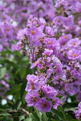 Pride of India (amitava.das) Tags: flowers flower nature outdoor lagerstroemia bloom india canon