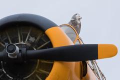 CONTACT!!!!! (NicoleW0000) Tags: snowyowl birdpilot harvardmarkiiairplane propellor yellow rcaf vintageairplane owl birdofprey ontario canada airplane