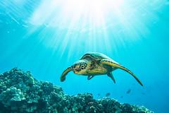 turtle3Mar29-18 (divindk) Tags: cheloniamydas hawaii hawaiianislands honu malaramp maui places underwater diverdoug endangeredspecies greenseaturtle marine ocean reef sea seaturtle sunrays sunburst turtle underwaterphotography