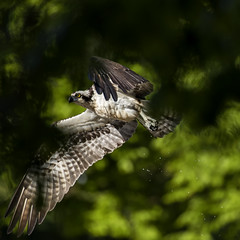 Fishing Osprey (jeanne.marie.) Tags: lightandshadow osprey spring flying flight wings feathers patternsinnature talons dripping squareformat 100xthe2018edition 100x2018 image57100