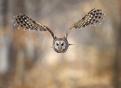 Head on Barred (DTT67) Tags: barredowl owl bif birds birdofprey raptor wildlife nature nationalgeographic canon 1dxmkii