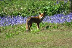 Fox with bluebells (Elisa1880) Tags: fox vos animal dier zoogdier blue bells bluebells blauwe boshyacinten paarse solleveld den haag the hague nederland netherlands