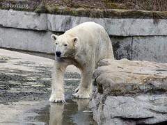 Bill - Eisbär - Zoom Gelsenkirchen (ElaNuernberg) Tags: eisbärbill zoo zooanimal zootier zoomgelsenkirchen polarbear eisbär ourspolaire orsopolare ijsbeer isbjorn niedźwiedźpolarny jääkaru ursusmaritimus