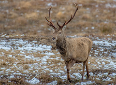 DSC2842 Red Deer... (jefflack Wildlife&Nature) Tags: reddeer deer deers stag stags animal animals wildlife woodlands highlands scotland winter snow countryside nature