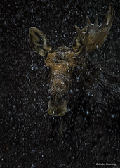 moose in the snow (Brandon Downing) Tags: wildlife wyoming colorado closeup wild nature nikon new nik northern national animals outdoors outdoor light lens snow portrait moody dramatic stare eyes