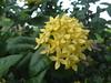 DSC06200 Ixora (Ixora coccinea) (familiapratta) Tags: sony dschx100v hx100v iso100 natureza flor flores nature flower flowers
