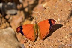 Temenis laothoe (Rodrigo Conte) Tags: temenis laothoe temenislaothoe borboleta butterfly insect inseto insecta nymphalidae biblidinae epiphilini brasil brazil brasilia fantasticnature buzznbugz animal macro