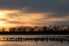 Sandhill_Cranes-17 (Beverly Houwing) Tags: nebraska sandhillcranes plattriver migration spring birds conservation cranetrust sanctuary protected flying sihouette clouds sky sunset standing refelction flock crowded sandbar shallowwater unitedstates midwest