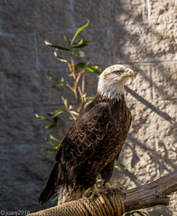 Bald Eagle (JuanJ) Tags: nikon d850 lightroom art bokeh nature lens light landscape white green red black pink sky people portrait location architecture building city iphone iphoneography square squareformat instagramapp shot awesome supershot beauty cute new flickr amazing photo photograph fav favorite favs picture me explore interestingness wedding party family travel friend friends vacation beach eagle bird frankfort kentucky usa 2018 march salato wildlife education zoo tamron