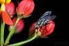 Happy Fly Day Friday! (jciv) Tags: fly file:name=dsc06199 macro flower insect butterflyweed
