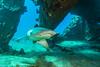 shark2Mar27-18 (divindk) Tags: hawaii hawaiianislands malaramp maui scientificname shark triaenodonobesus underwater whitetipreefshark whitetipshark whitetippedreefshark diverdoug fearsome jaws manolalakea marine ocean predator reef sea teeth underwaterphotography
