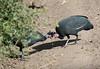 Crested  guineafowls (takashimuramatsu) Tags: gutterapucherani crested guineafowl lakemanyara national park tanzania nikon d850