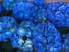 Hydrangeas (oybay©) Tags: hydrangeas flower flowers enmasse flora fiori blumen blue purple violet lighting light