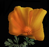 California Golden Poppy In The Light (Bill Gracey 18 Million Views) Tags: californiagoldenpoppy fleur flower flor gold orange backlit backlighting offcameraflash roguegrid softbox yongnuorf603n yongnuo blackbackground tabletopphotography homestudio macrolens nature naturalbeauty naturephotography