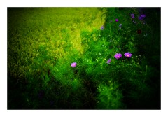 cosmos...rice field near (kouji fujiwara) Tags: countryside paddy field paddyfield green cosmos コスモス 秋桜 sony sonyα7 α7 ilce ilce7 ilce7r