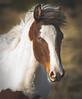 Wild Horses (Jami Bollschweiler Photography) Tags: wild horses utah west desert animals wildlife stallions fighting baby foals photography female nikon nikond810