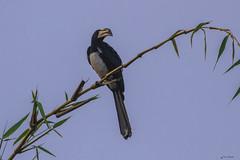 UN CALAO    ----    HORNBILL (Ezio Donati is ) Tags: natura nature foresta forest animali animals uccelli birds africa costadavorio bongervillearea