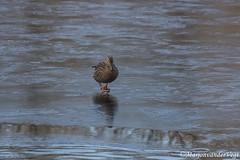op 't ijs (Marjon van der Vegt) Tags: meerenbos zwanen eenden ijs koud zon langeharen rood boxer hond spiegel mooi zonnig