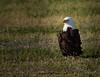 American Bald Eagle (Kelly_MR) Tags: eagle baldeagle raptor americanbaldeagle feathers whitehead majestic portrait