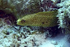 Chain Moray (Jeff Mitton) Tags: chainmoray echidnacatenata moray eel morayeel bonaire reef coralreef earthnaturelife wondersofnature