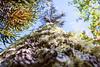 Araucaria araucana centenaria (Ívarr inn víðfaðmi) Tags: macro araucaria araucana evergreen tree forest pehuén monkey puzzles conguillio national park chile