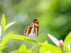 Suddenly Appear (Jimweaver) Tags: butterfly insect mountain stream nature focus flower color bw taiwan taipei sunny beauty fly forest 蝴蝶 花 溪 台北 台灣 山 森林 飛 綠 紅 昆蟲 素 艷 微距 動物 植物 soft lime asia 亞洲 athyma opalina hirayamai 流帶蛺蝶 三線蝶 closeup 琉球