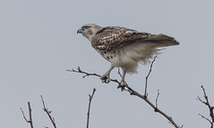 Hawk__041518_01 (Rogerd7) Tags: buteojamaicensis pentaxk3 buteo redtailed hawk birdofprey pentax da300mm