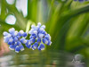 Blue Grape Hyacint (Wilma van Oorschot) Tags: wilmavanoorschot angelphotography olympusem5 olympusomde5 bluegrapehyacinth blue flowers spring natue outdoor garden