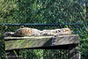 Puddle of Leopards (simonevanbergen) Tags: 2018 beeksebergen netherlands safaripark simonevanbergen spring svb tilburg zoo animals ape bird birdofprey birds cat cats cheetah hyena leopard monkey nature rhino sun tiger wildcat zebra